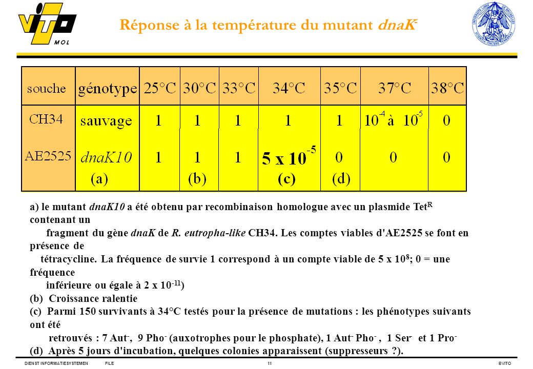 Réponse à la température du mutant dnaK-