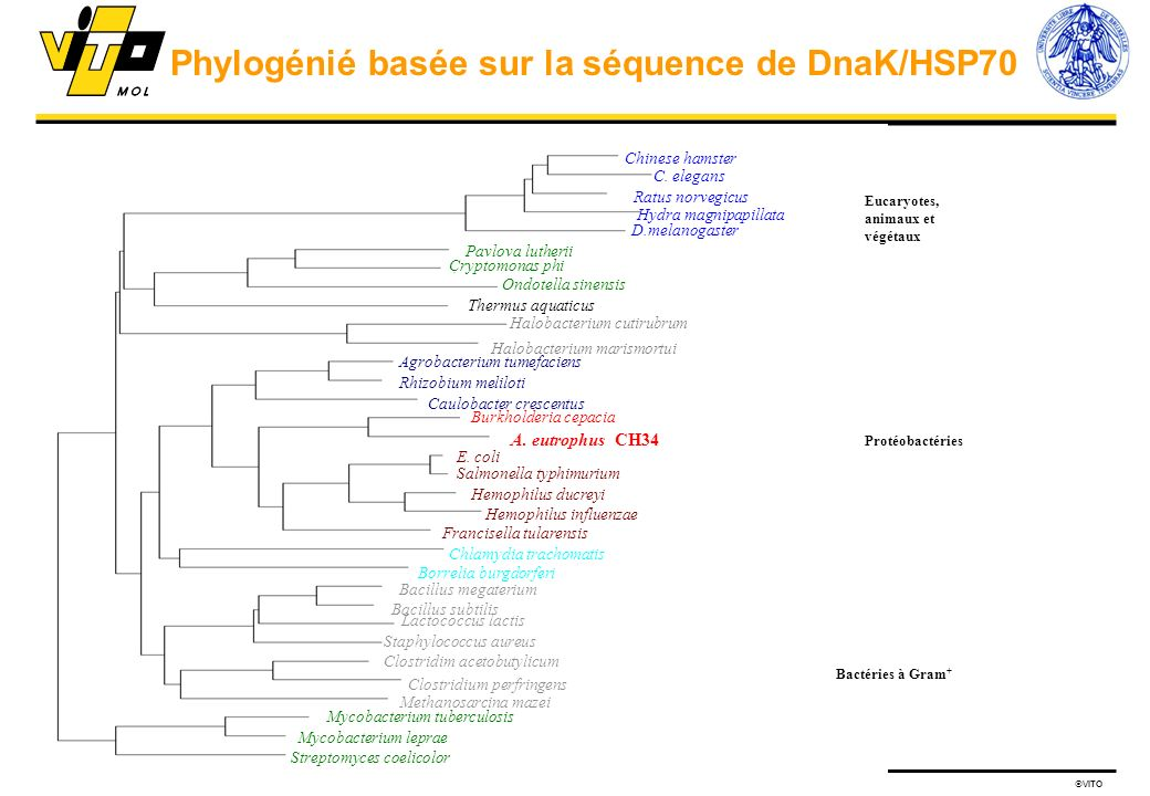 Phylogénié basée sur la séquence de DnaK/HSP70