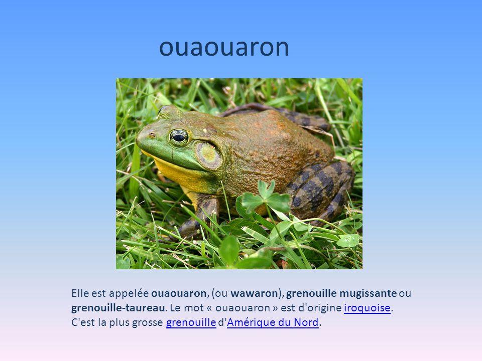 ouaouaron Elle est appelée ouaouaron, (ou wawaron), grenouille mugissante ou grenouille-taureau. Le mot « ouaouaron » est d origine iroquoise.
