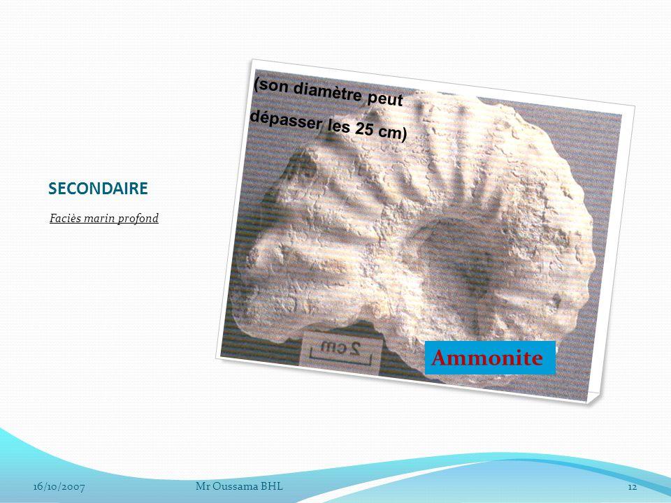 Ammonite SECONDAIRE (son diamètre peut dépasser les 25 cm)