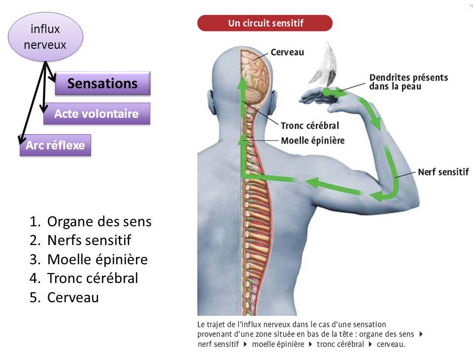 Sensations Organe des sens Nerfs sensitif Moelle épinière