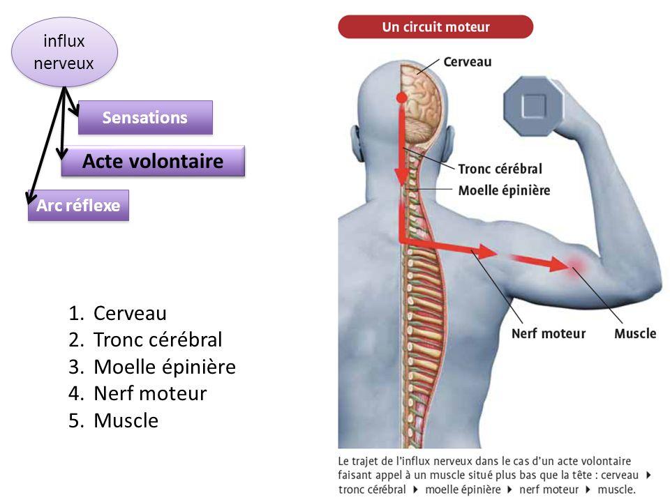 Acte volontaire Cerveau Tronc cérébral Moelle épinière Nerf moteur