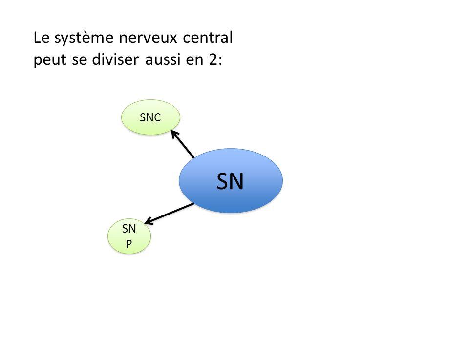 Le système nerveux central peut se diviser aussi en 2: