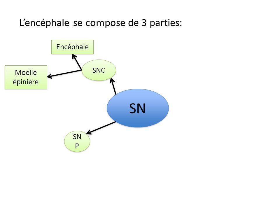 SN L'encéphale se compose de 3 parties: Encéphale SNC Moelle épinière