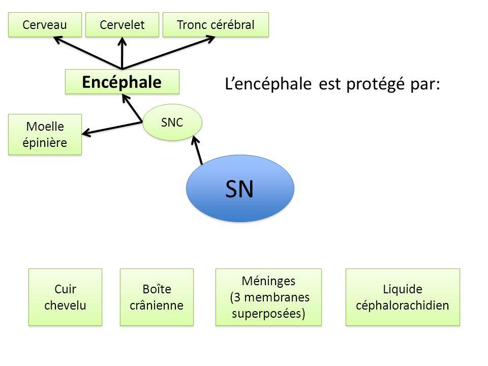 SN Encéphale L'encéphale est protégé par: Cerveau Cervelet