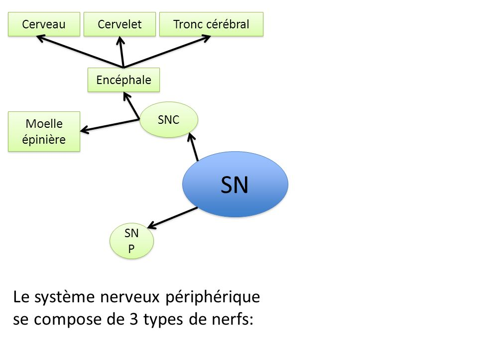 SN Le système nerveux périphérique se compose de 3 types de nerfs: