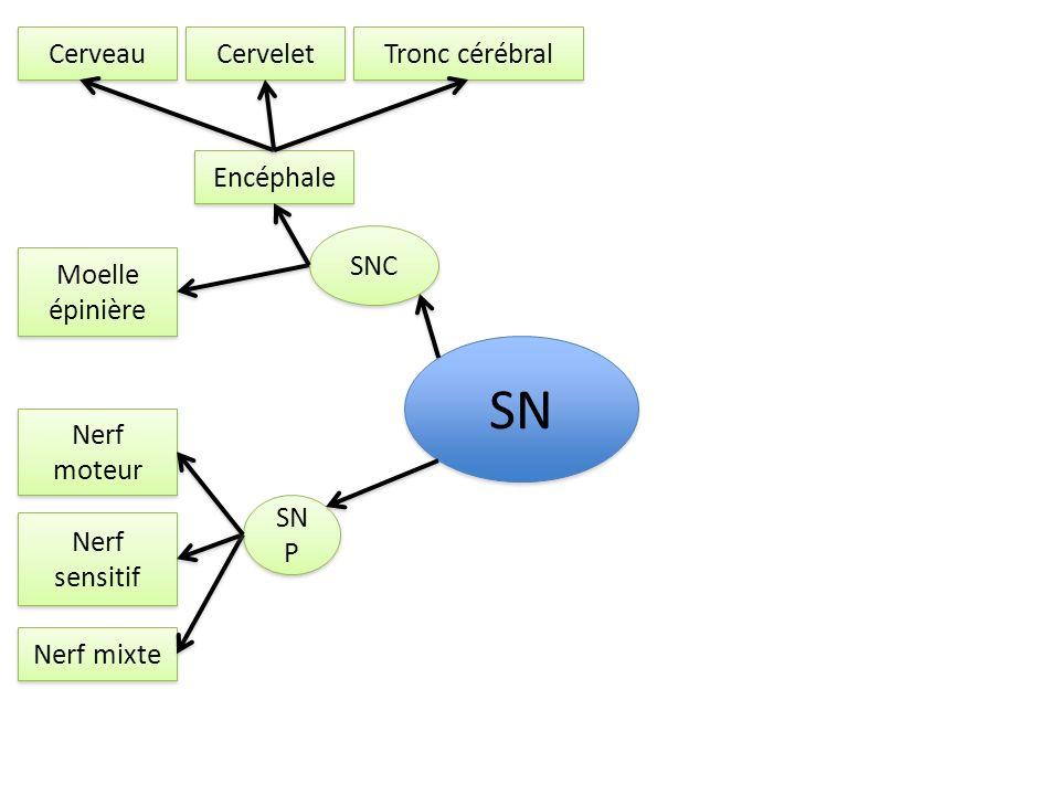 SN Cerveau Cervelet Tronc cérébral Encéphale SNC Moelle épinière