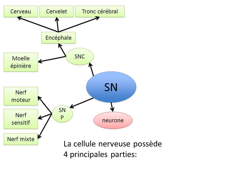 SN La cellule nerveuse possède 4 principales parties: Cerveau Cervelet