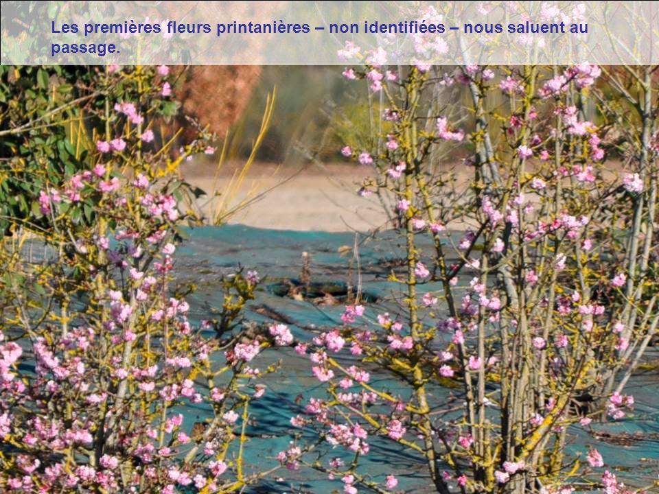Les premières fleurs printanières – non identifiées – nous saluent au passage.