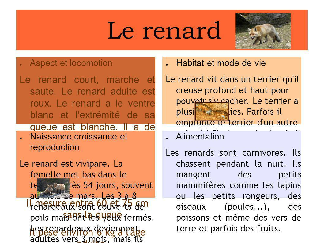 Le renard Aspect et locomotion.