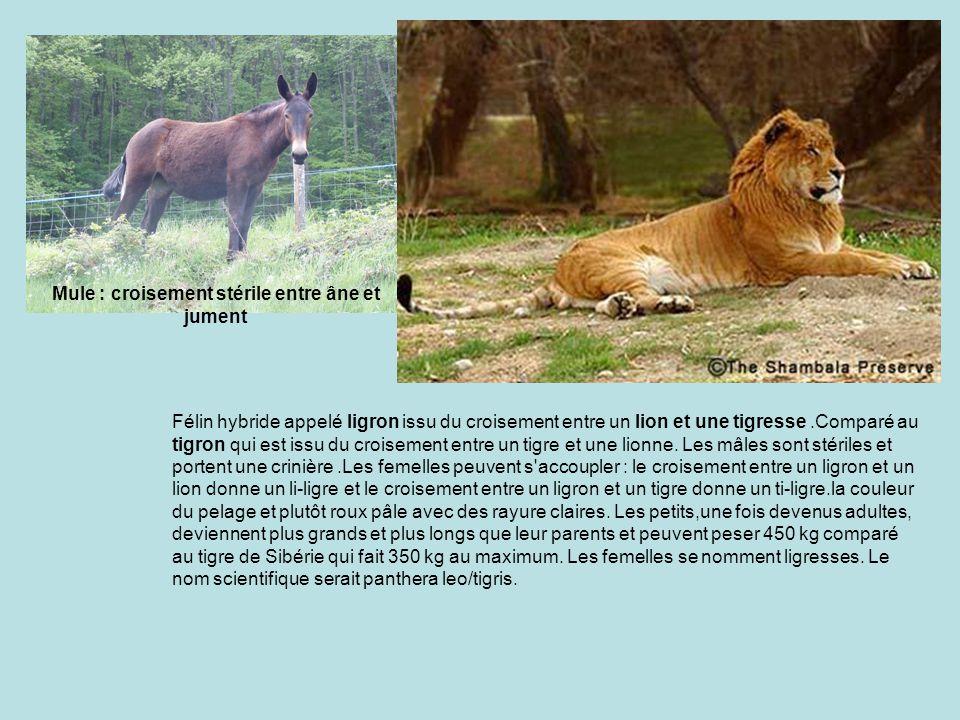 Mule : croisement stérile entre âne et jument
