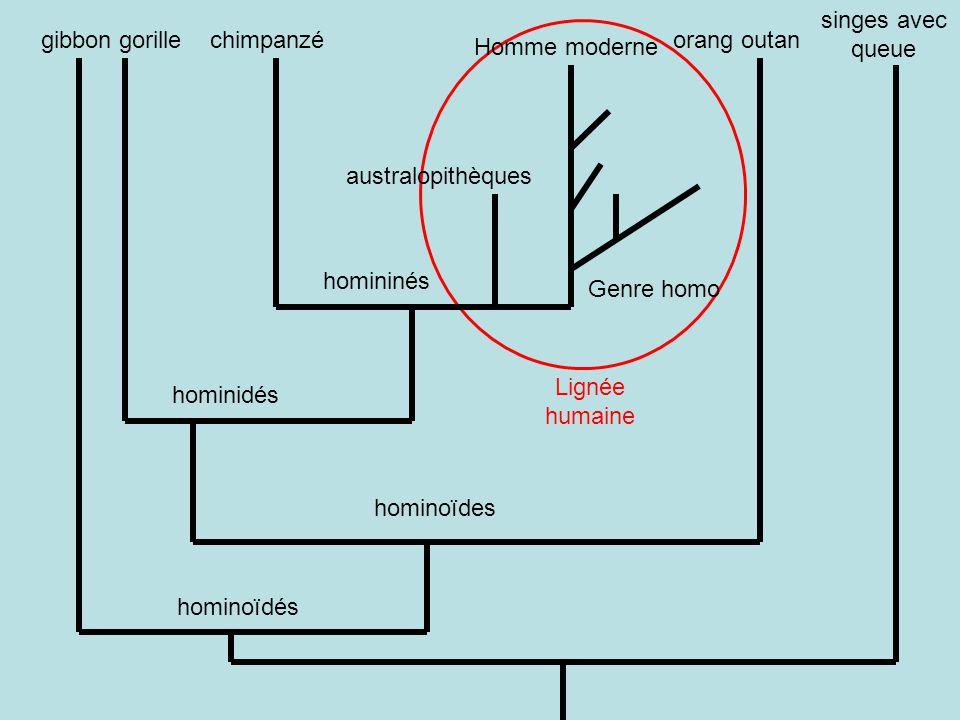 singes avec queue gibbon. gorille. chimpanzé. Lignée humaine. orang outan. Homme moderne. australopithèques.