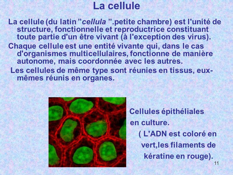 Cellules épithéliales