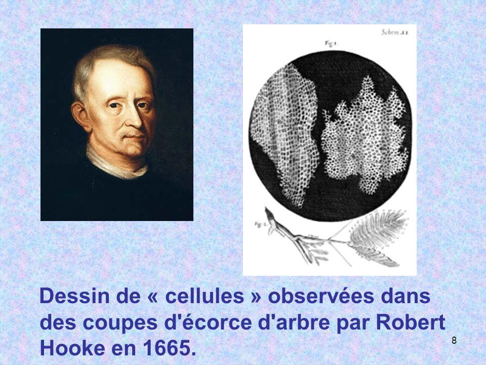 Dessin de « cellules » observées dans des coupes d écorce d arbre par Robert Hooke en 1665.