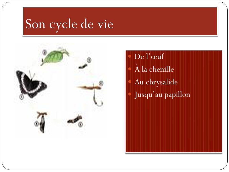 Son cycle de vie De l'œuf À la chenille Au chrysalide