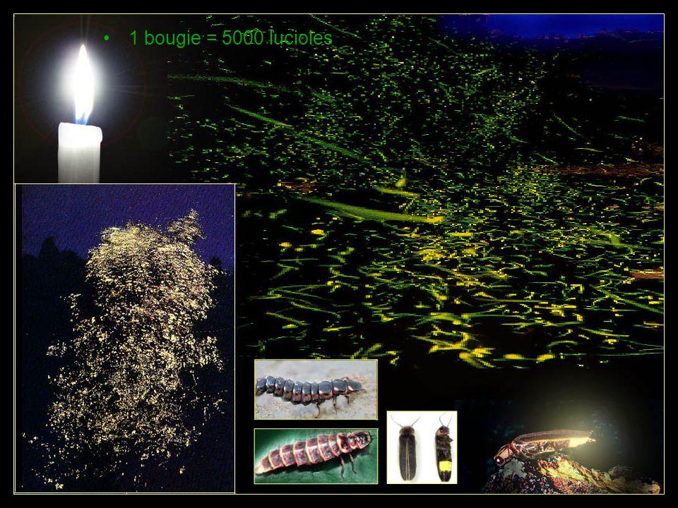 1 bougie = 5000 lucioles