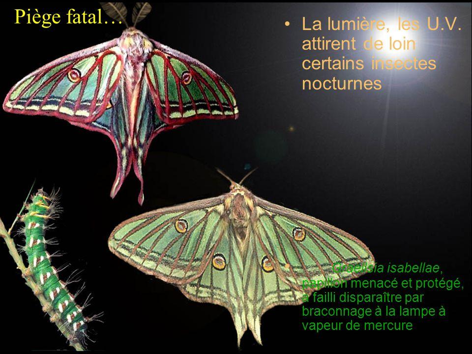 Piège fatal…La lumière, les U.V. attirent de loin certains insectes nocturnes.