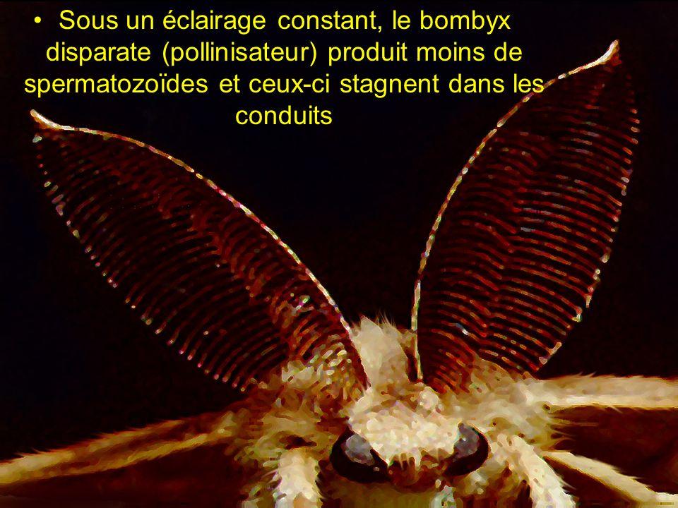 Sous un éclairage constant, le bombyx disparate (pollinisateur) produit moins de spermatozoïdes et ceux-ci stagnent dans les conduits