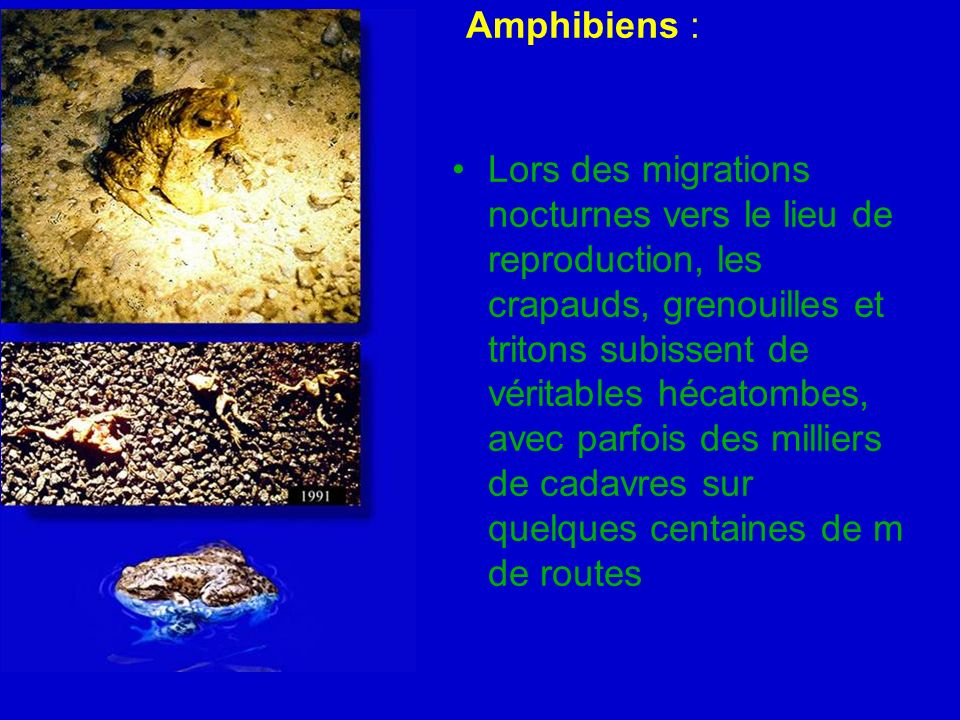 Amphibiens :