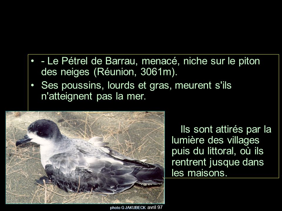 - Le Pétrel de Barrau, menacé, niche sur le piton des neiges (Réunion, 3061m).