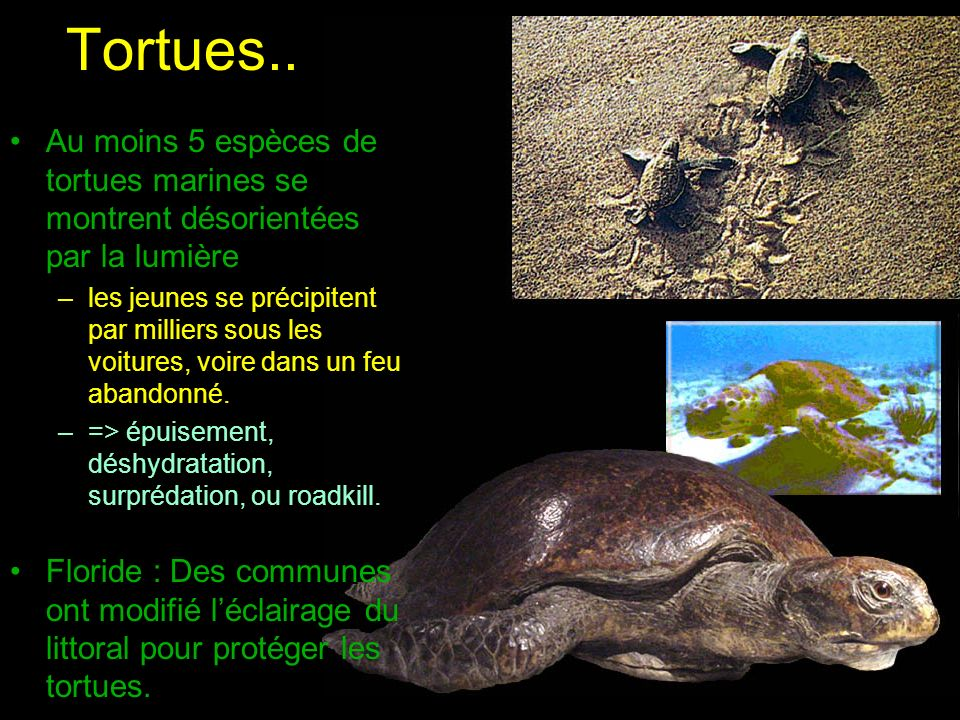 Tortues.. Au moins 5 espèces de tortues marines se montrent désorientées par la lumière.