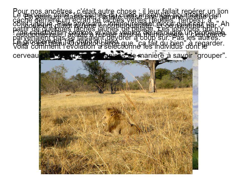 Pour nos ancêtres, c était autre chose : il leur fallait repérer un lion caché derrière un écran de tâches vertes (feuilles, herbes), à partir de quelques tâches jaunes de pelage. Les individus qui n y parvenaient pas se faisaient dévorer à coup sûr. Pas les autres. Voilà comment l évolution a sélectionné les individus dont le cerveau et la vision sont organisés de manière à savoir grouper .