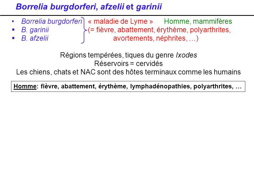 Borrelia burgdorferi, afzelii et garinii