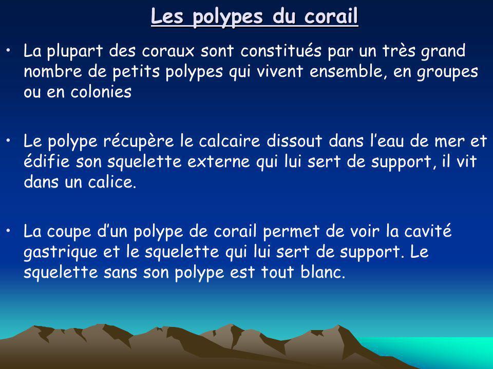 Les polypes du corail La plupart des coraux sont constitués par un très grand nombre de petits polypes qui vivent ensemble, en groupes ou en colonies.
