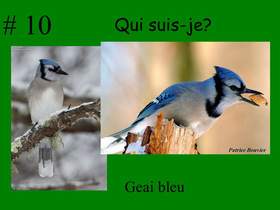 # 10 Qui suis-je Geai bleu