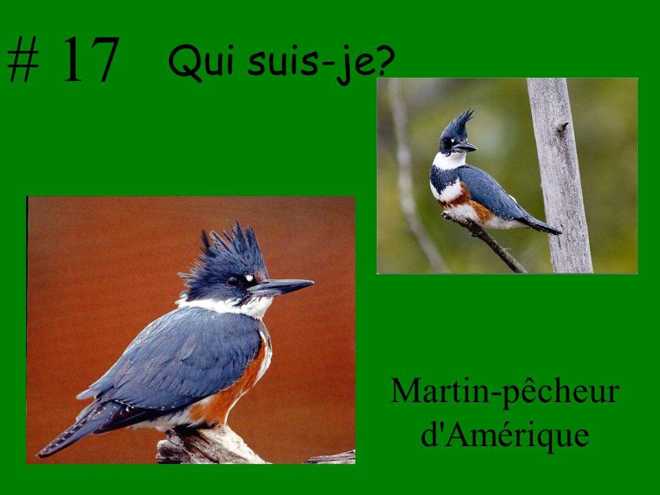 Martin-pêcheur d Amérique