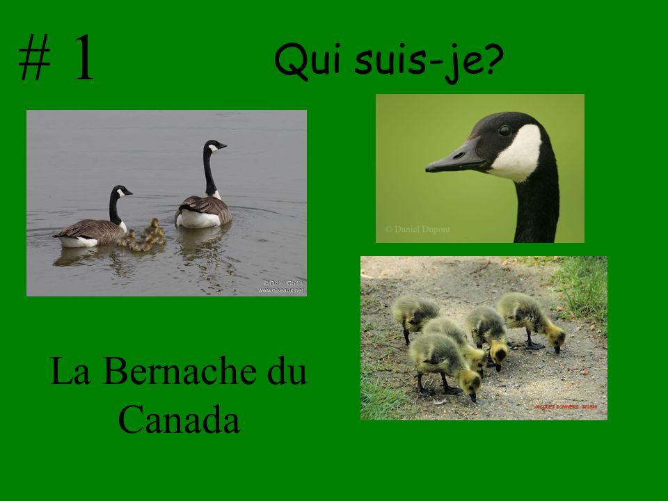 # 1 Qui suis-je La Bernache du Canada
