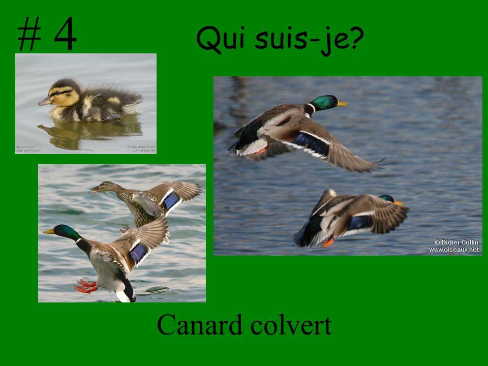 # 4 Qui suis-je Canard colvert