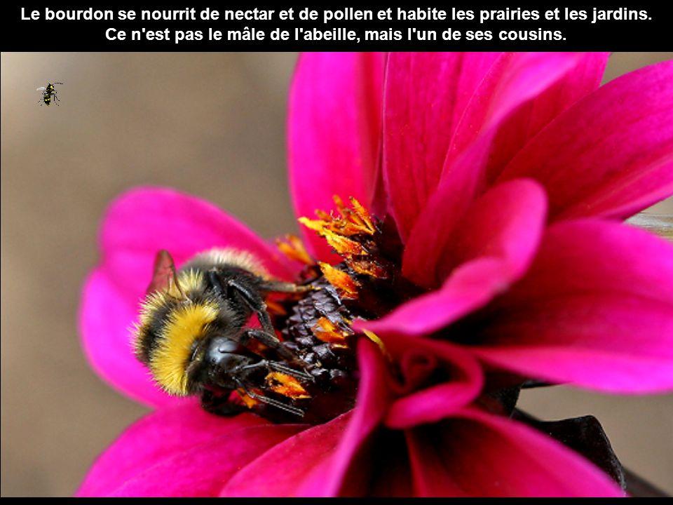 Ce n est pas le mâle de l abeille, mais l un de ses cousins.