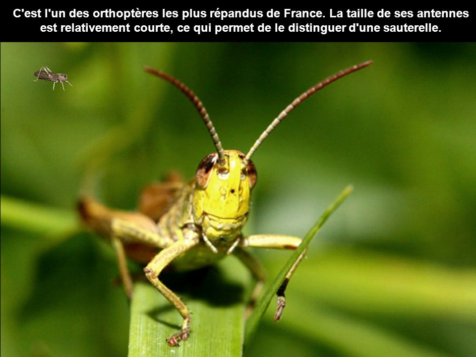 C est l un des orthoptères les plus répandus de France