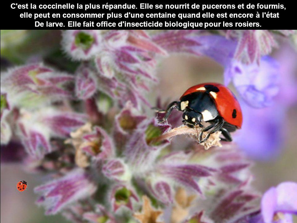 De larve. Elle fait office d insecticide biologique pour les rosiers.