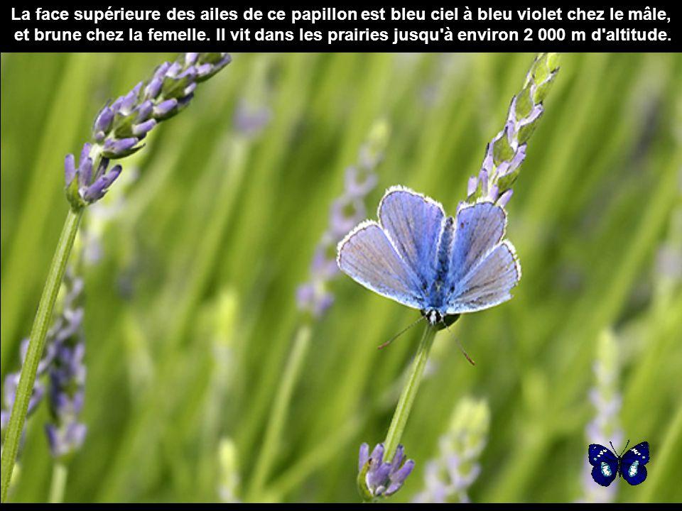 La face supérieure des ailes de ce papillon est bleu ciel à bleu violet chez le mâle,