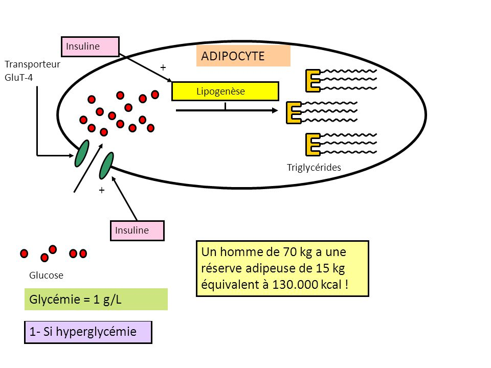 Insuline ADIPOCYTE. Transporteur GluT-4. + Lipogenèse. Triglycérides. Insuline. +