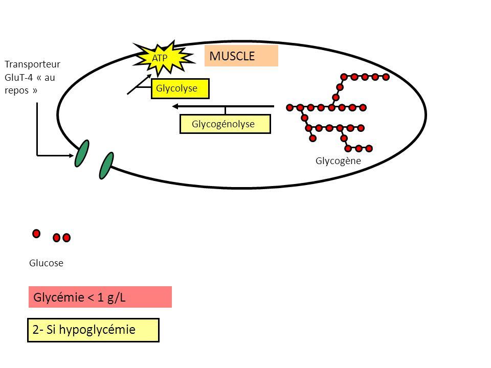 MUSCLE Glycémie < 1 g/L 2- Si hypoglycémie ATP