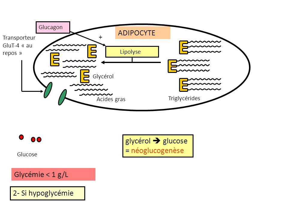 ADIPOCYTE glycérol  glucose = néoglucogenèse Glycémie < 1 g/L