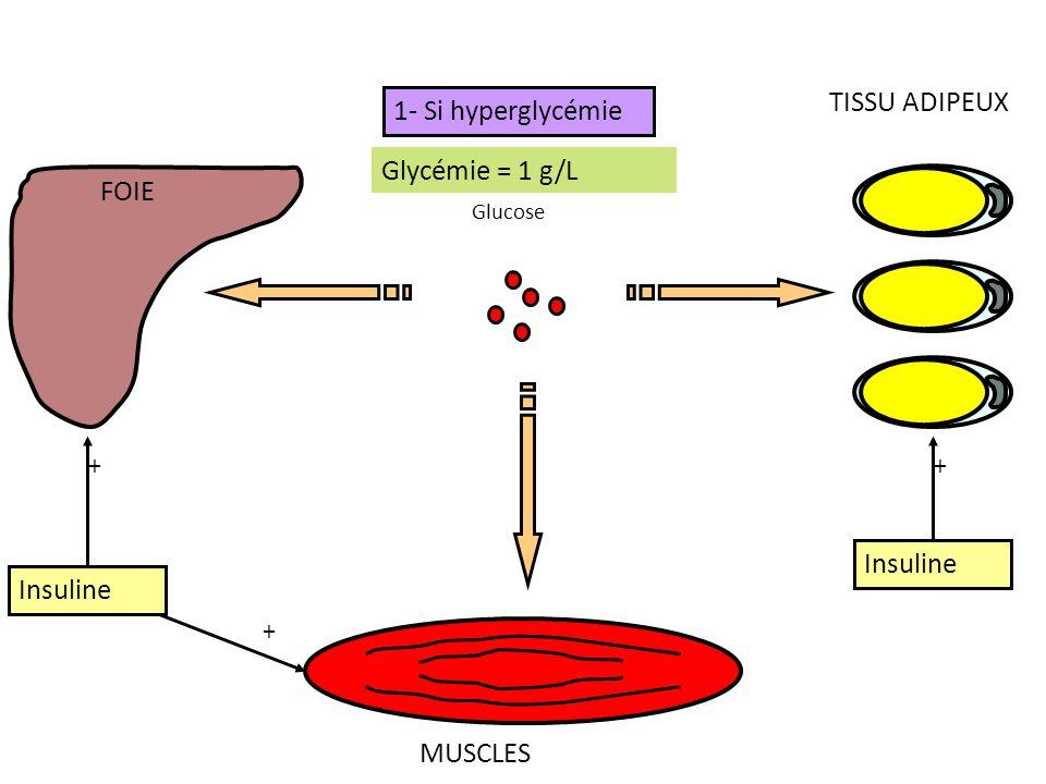 TISSU ADIPEUX 1- Si hyperglycémie Glycémie > 1 g/L Glycémie = 1 g/L