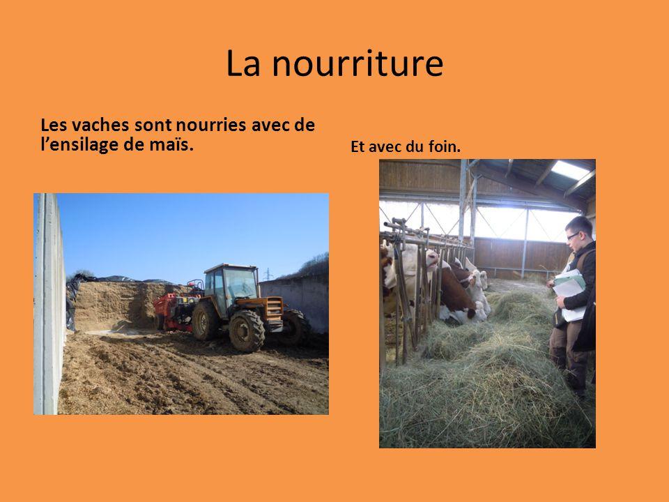 La nourriture Les vaches sont nourries avec de l'ensilage de maïs.