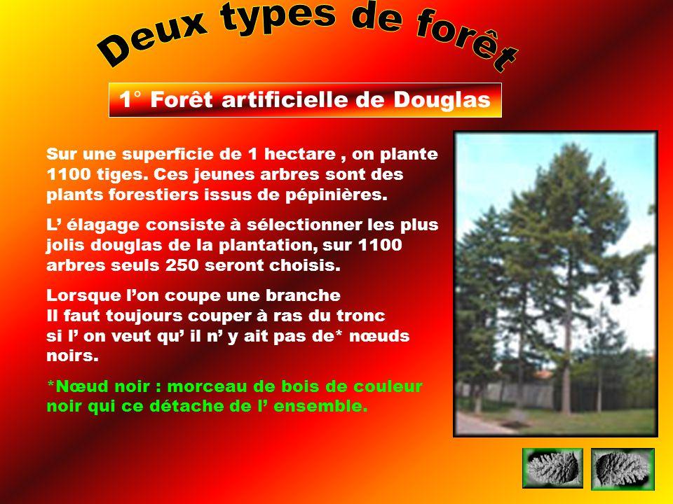 1° Forêt artificielle de Douglas