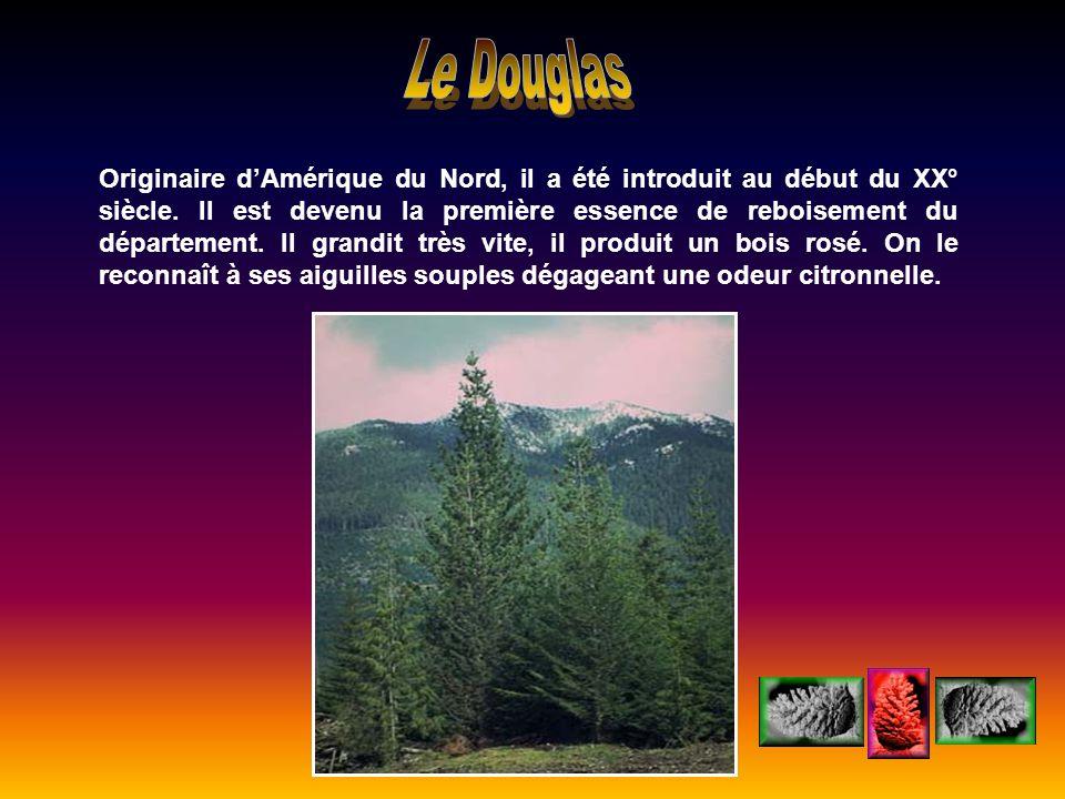 Le Douglas