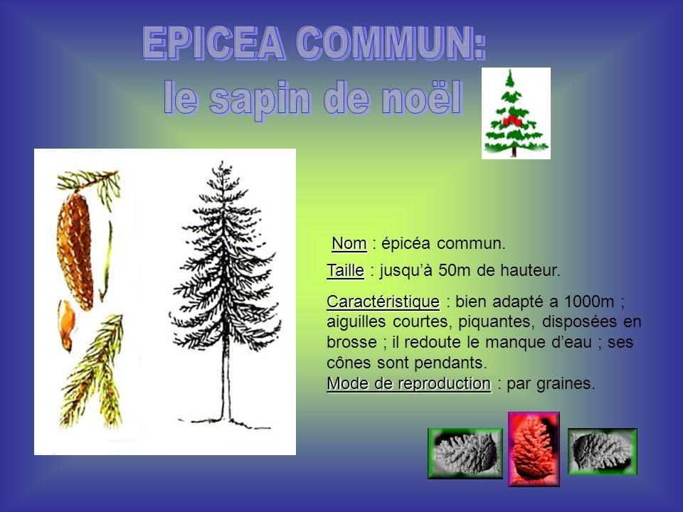 EPICEA COMMUN: le sapin de noël Nom : épicéa commun.