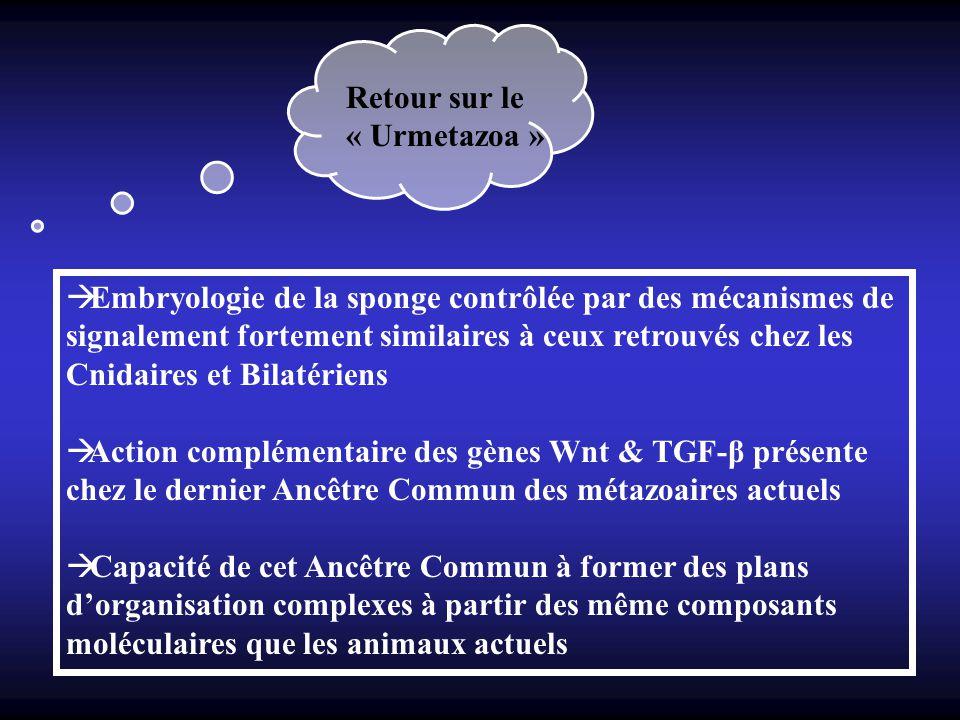 Retour sur le « Urmetazoa »