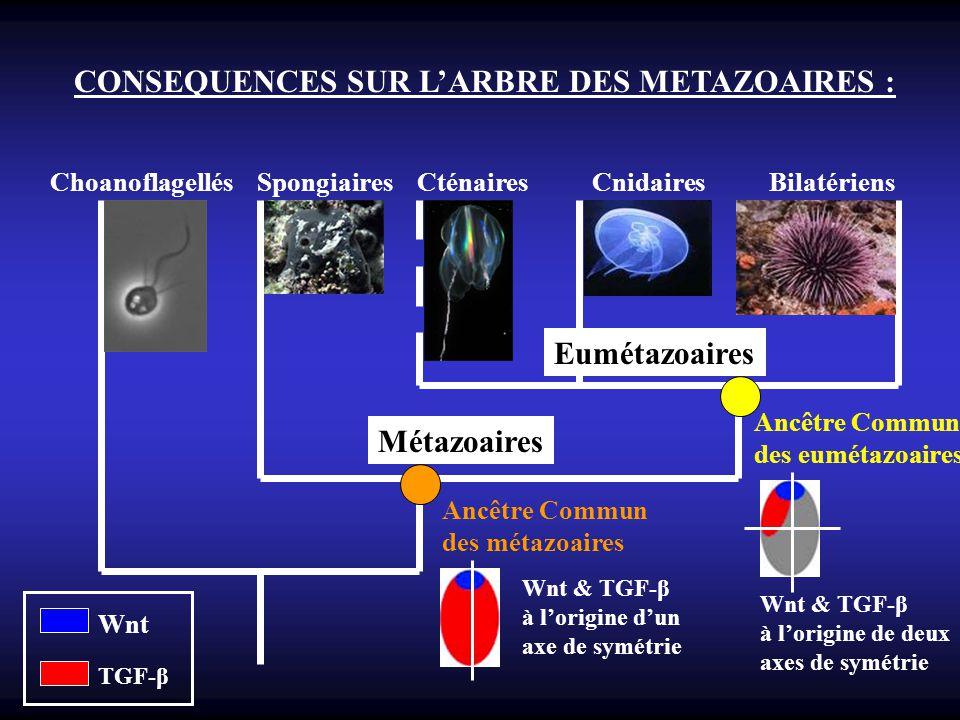 CONSEQUENCES SUR L'ARBRE DES METAZOAIRES :