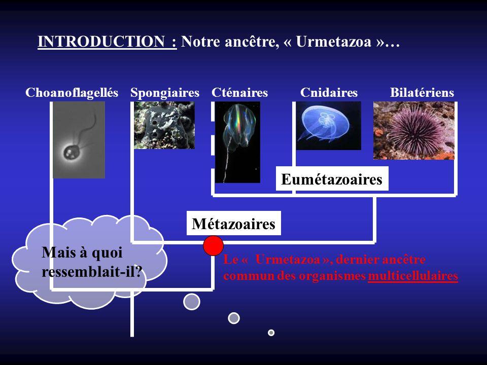 INTRODUCTION : Notre ancêtre, « Urmetazoa »…