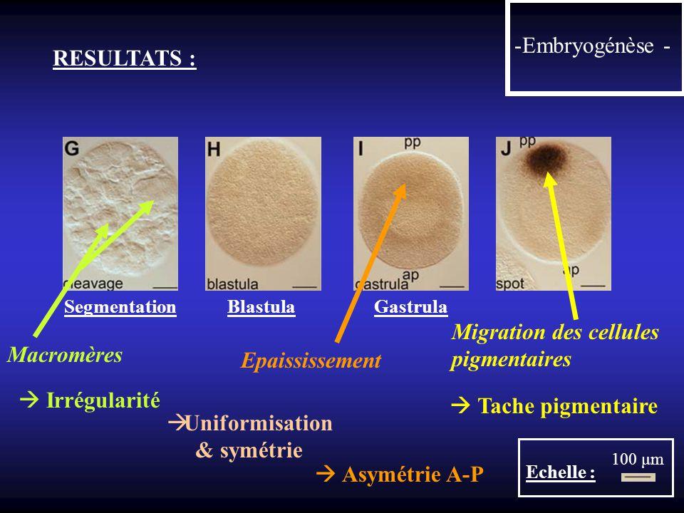 Migration des cellules pigmentaires