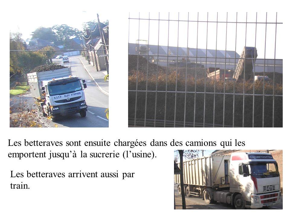 Les betteraves sont ensuite chargées dans des camions qui les emportent jusqu'à la sucrerie (l'usine).
