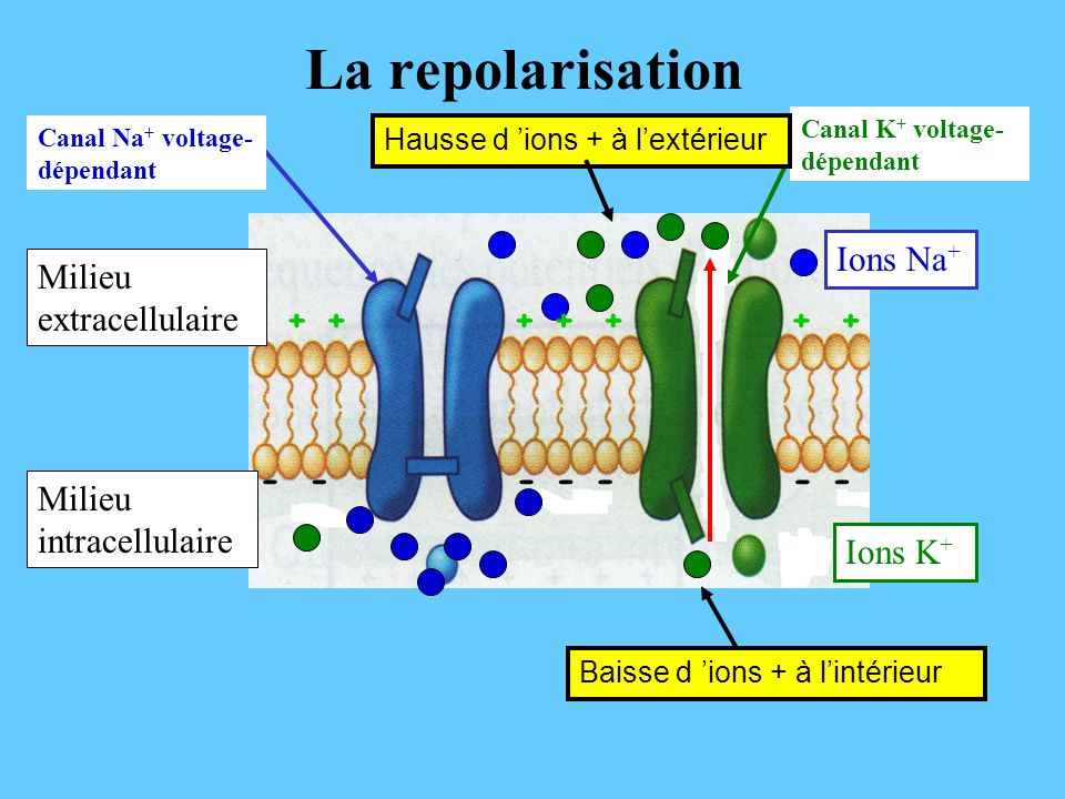 La repolarisation Ions Na+ Milieu extracellulaire + -
